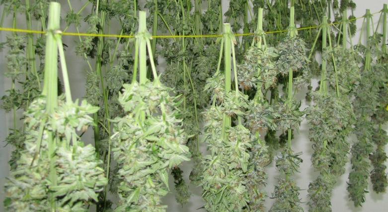 drying-marijuana