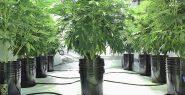 Marijuana plants growing indoors using hydroponics