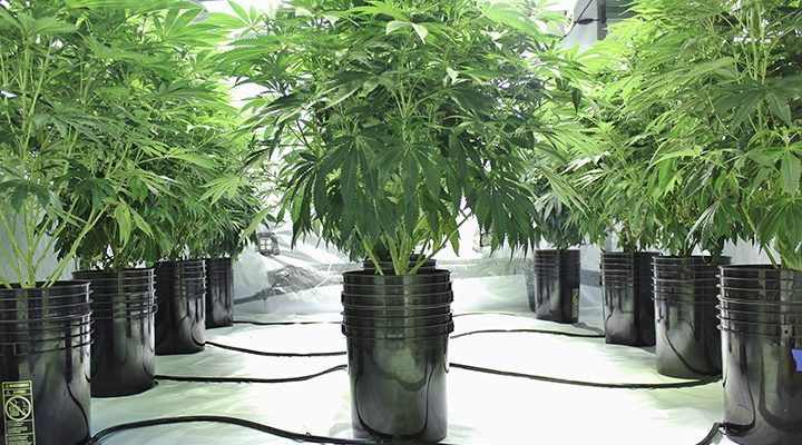how to grow weed hydroponically for beginners a step by step guide. Black Bedroom Furniture Sets. Home Design Ideas