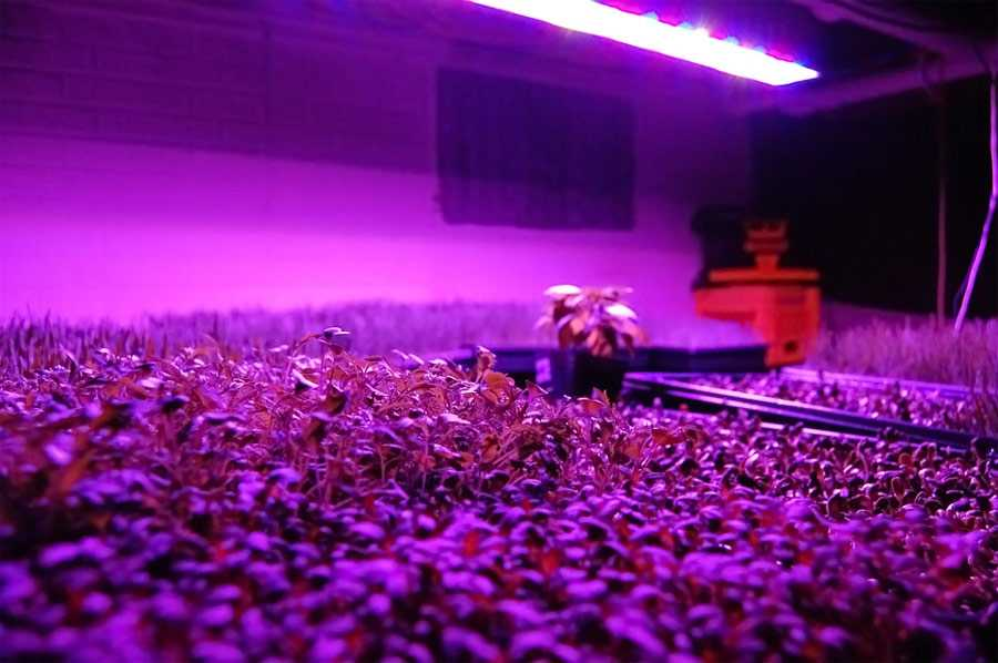 marijuana-growlight-room