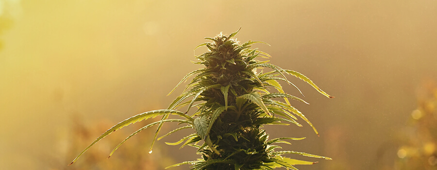 Outdoor-Sunlight-for-cannabis