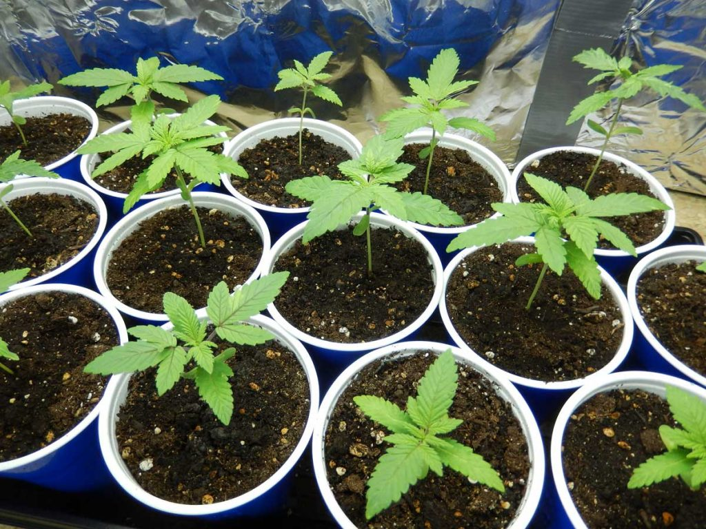Size of the Pot GErmination cannabis