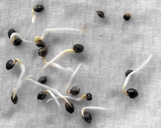 cannabis-seeds-germinating-via-paper-towel-method