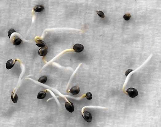 cannabis-seeds-germinating-via-paper-towel-method