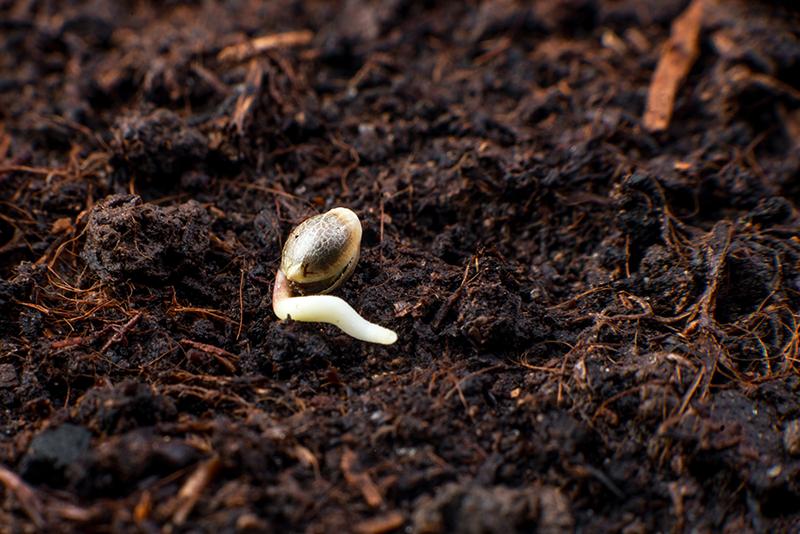 cannabis-seeds-germination