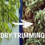 Tips And Guide To Successfully  Drying Your Marijuana Buds