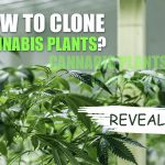 How To Clone A Weed Plant | Growing Tips and Tricks