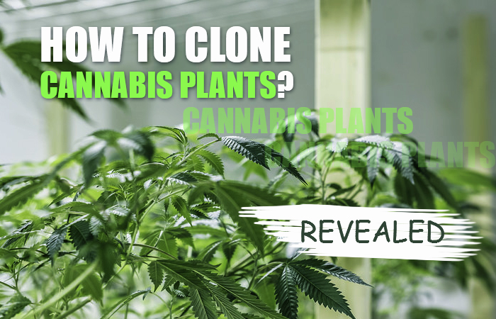 How To Clone a Weed