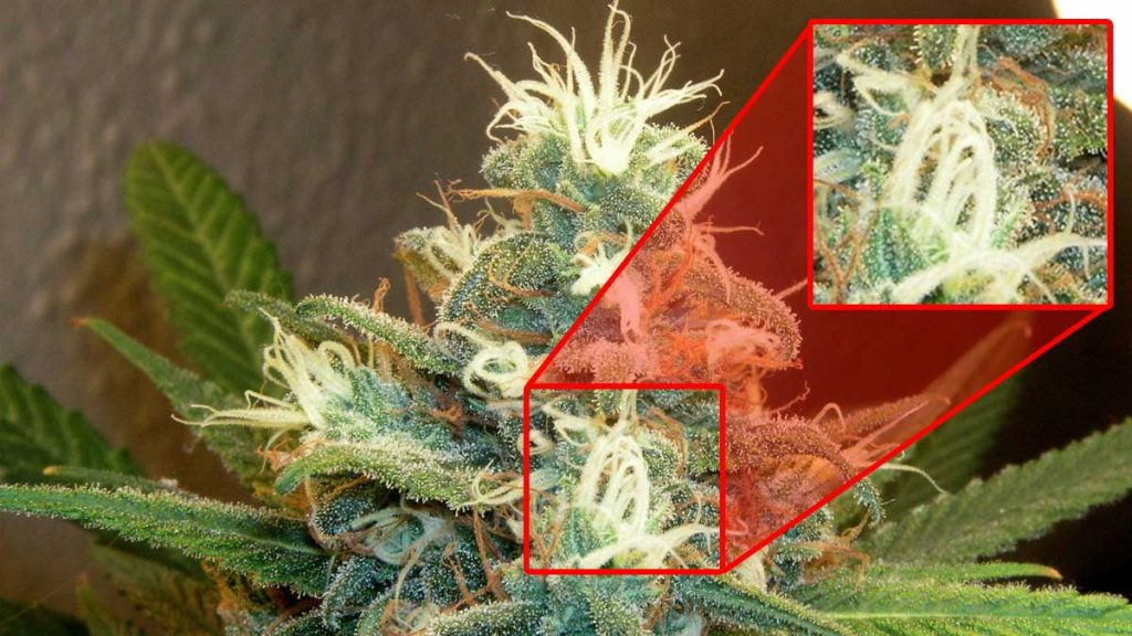 When is the right time to harvest weed