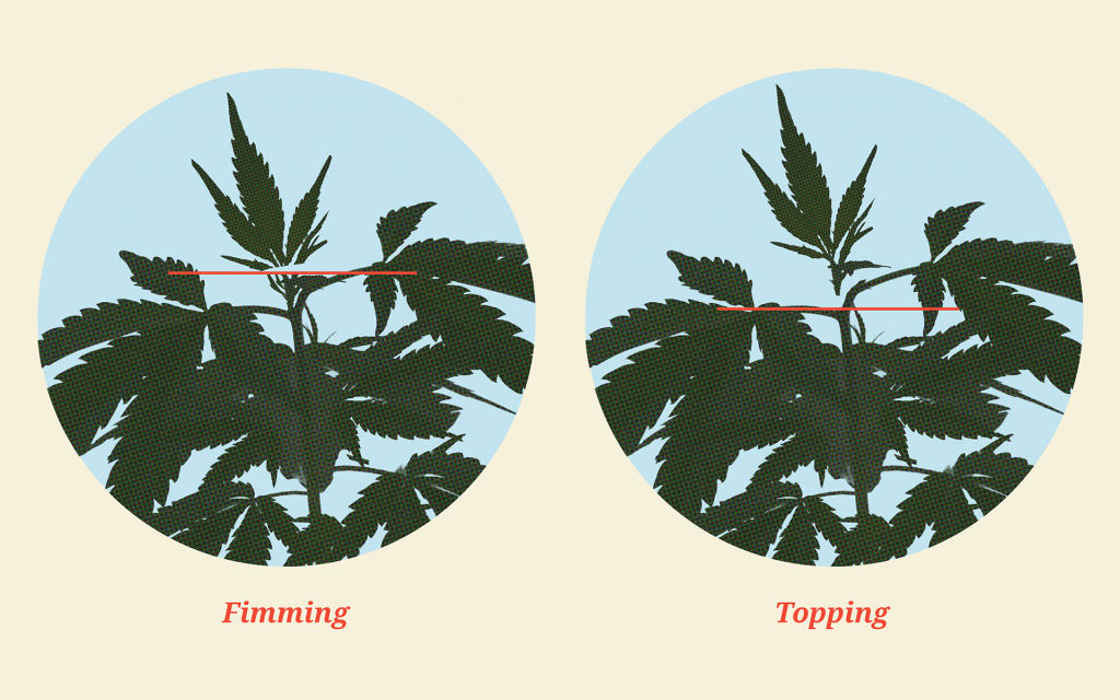 how-to-top-cannabis-plants