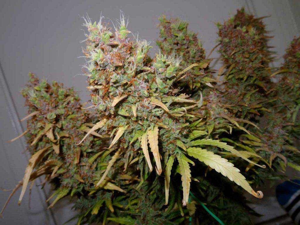 ripe buds