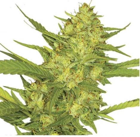 Sour-Diesel-marijuana-ilovegrowing