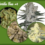Gorilla Glue Weed #4 Strain [Marijuana Strain Full Review] & Info