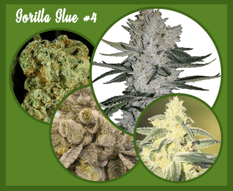 Gorilla Glue Review >> Gorilla Glue Weed 4 Strain Marijuana Strain Full Review