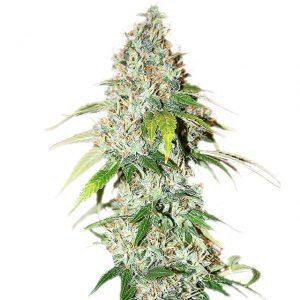 og-kush-marijuana-seeds