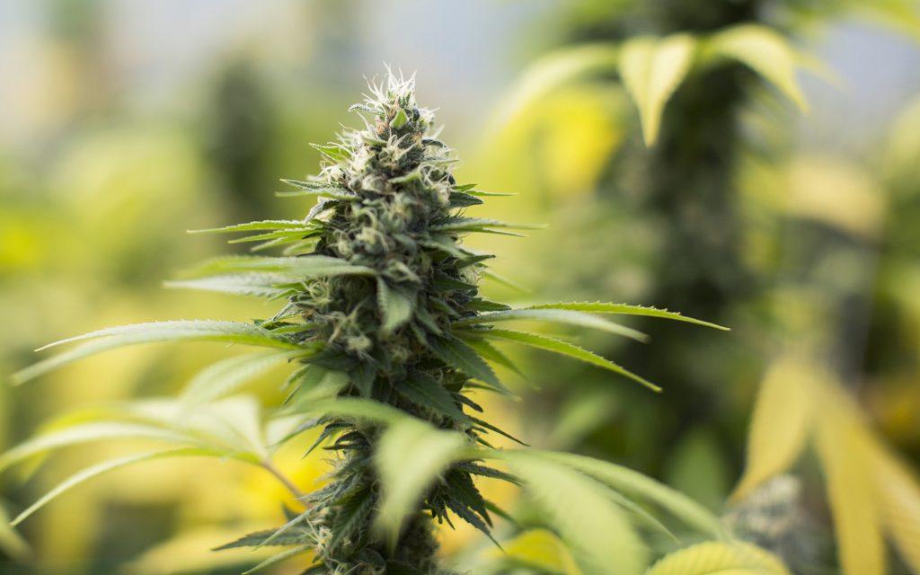 sour-diesel-strain-growth