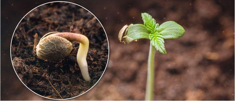 CANNABIS germination