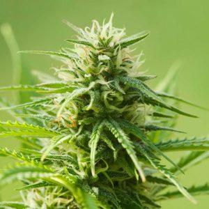 autoflowering-marijuana-seeds