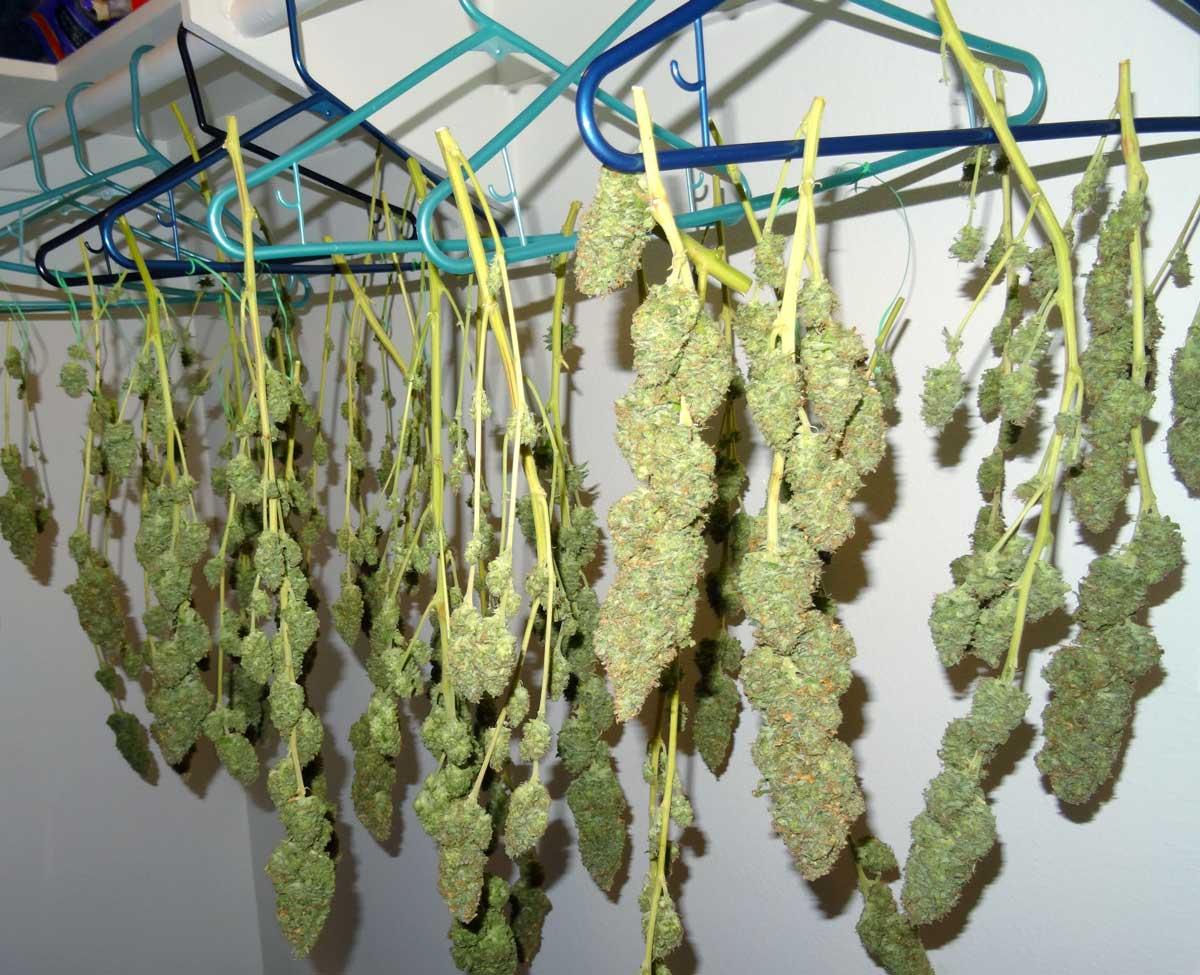 Как сушить марихуану коноплю курить дома чтобы