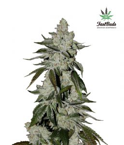 Girl Scout Cookies Auto Feminized Seeds