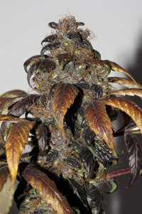 Purple Bud Regular Cannabis Seeds
