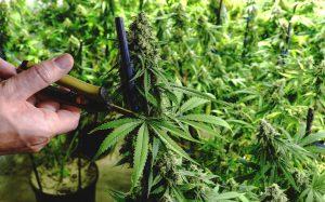 cannabis-pruning