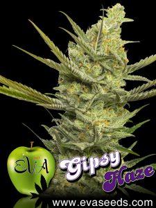 gipsy-haze-eva-seeds