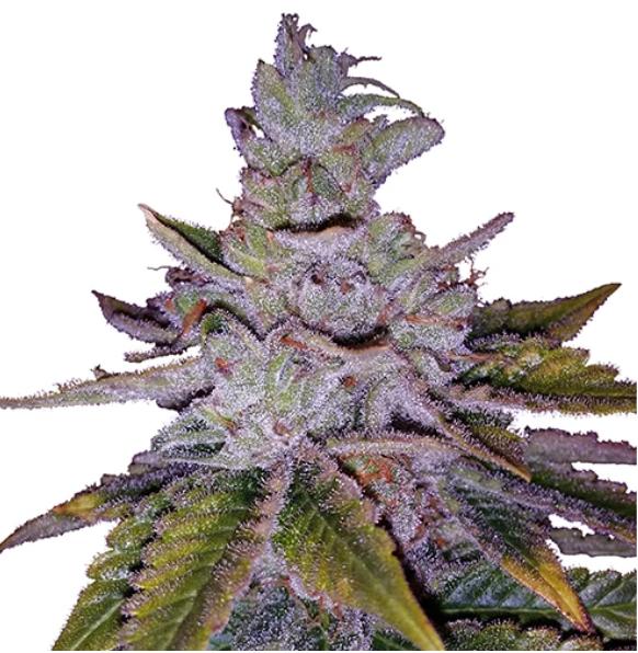 purple kush seed