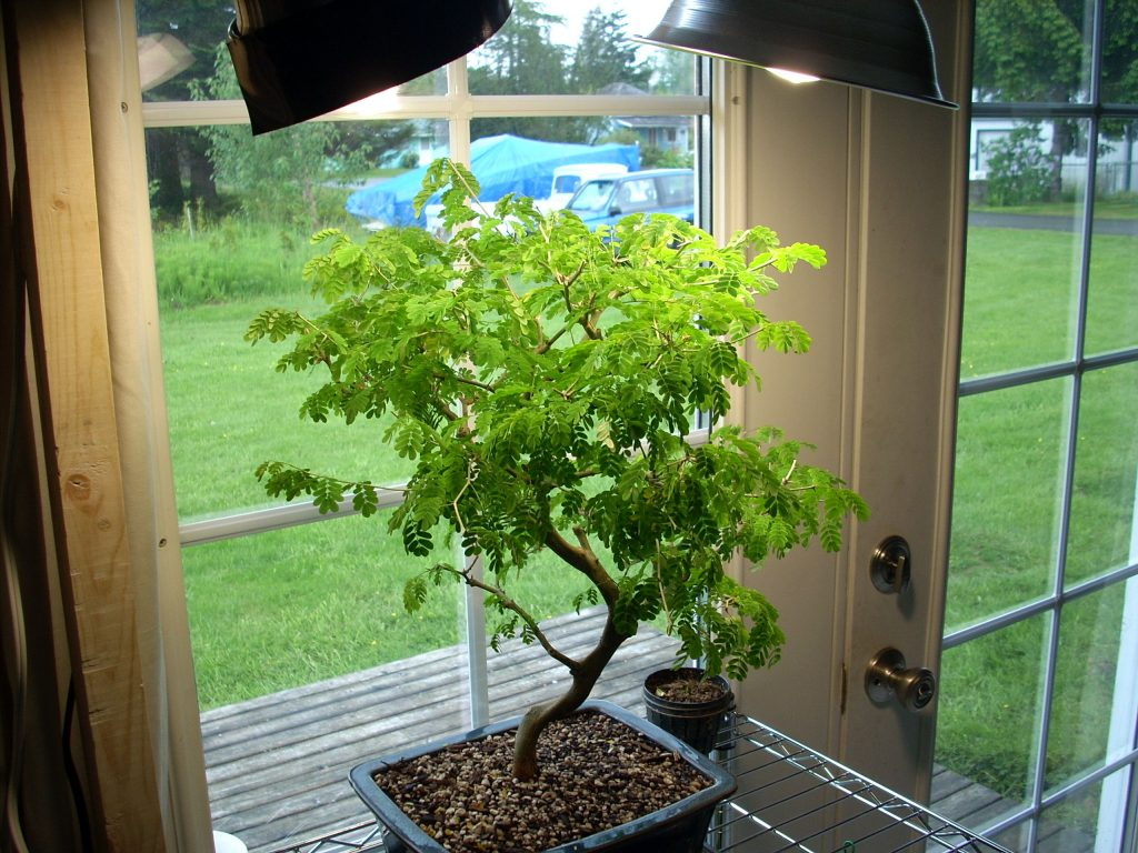 bonsai-grow-light