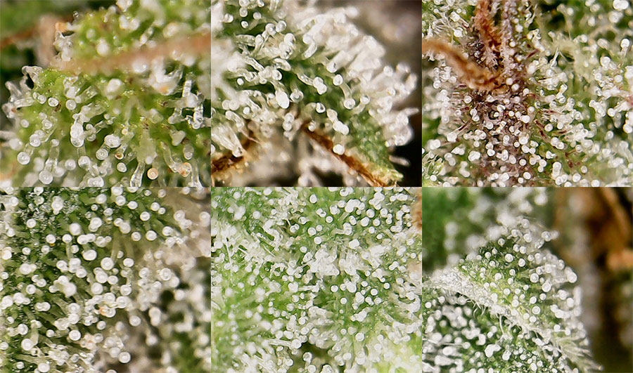 cannabis microscope
