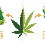 Indica vs Sativa | Different Use, Side Effects