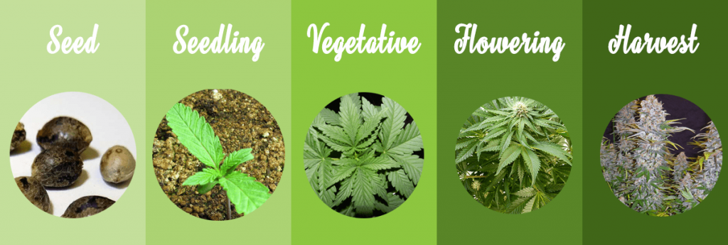 cannabis-grow-stages