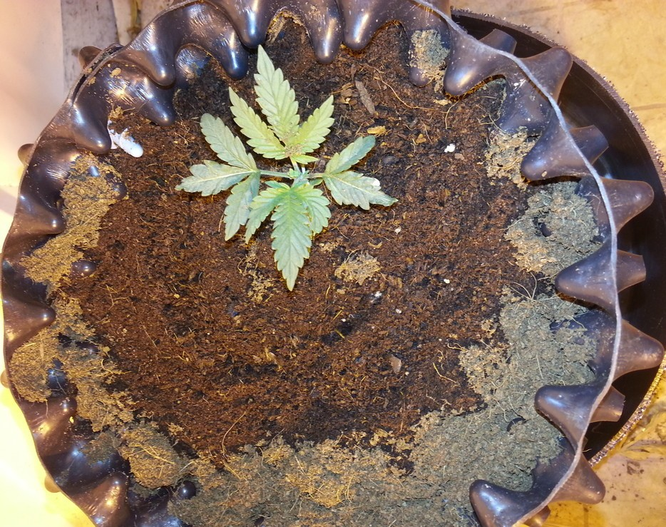 marijuana_growing_coco_coir_medium