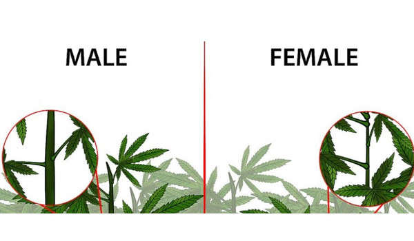 Identifying-the-sex-of-your-plants