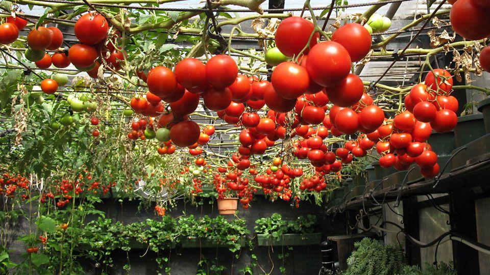 Hydroponic Tomato Varieties