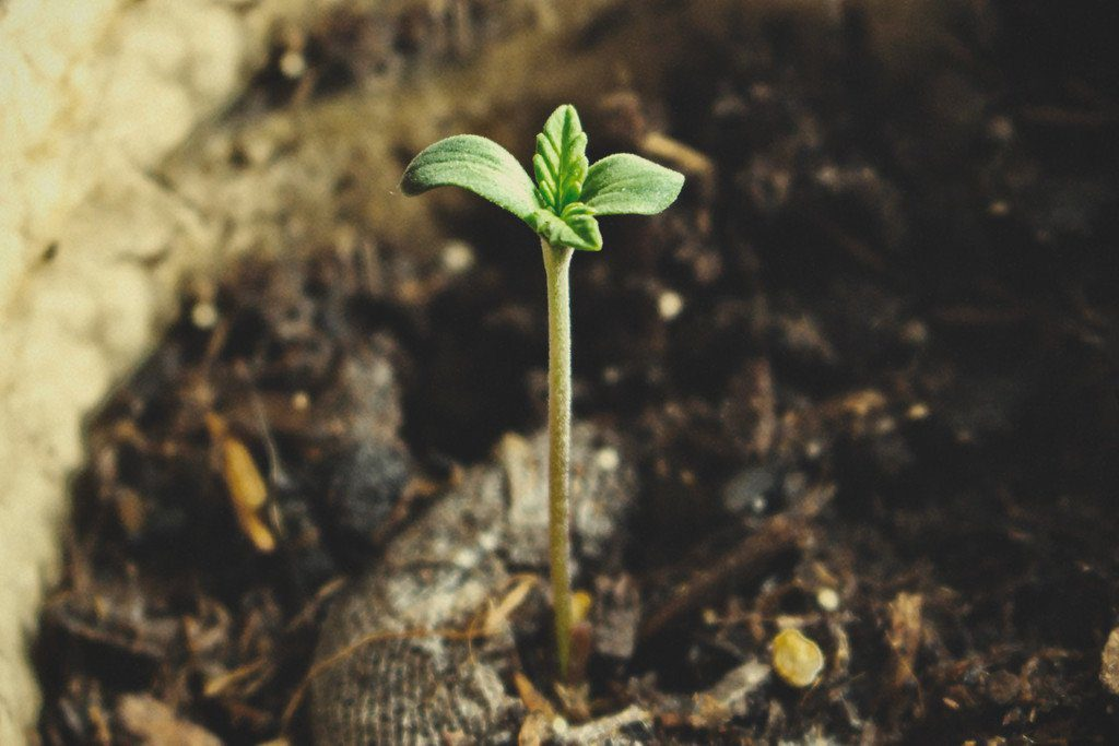 Cannabis Germination Stage