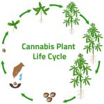 Cannabis Life Cycle-The Life Cycle Of Weed
