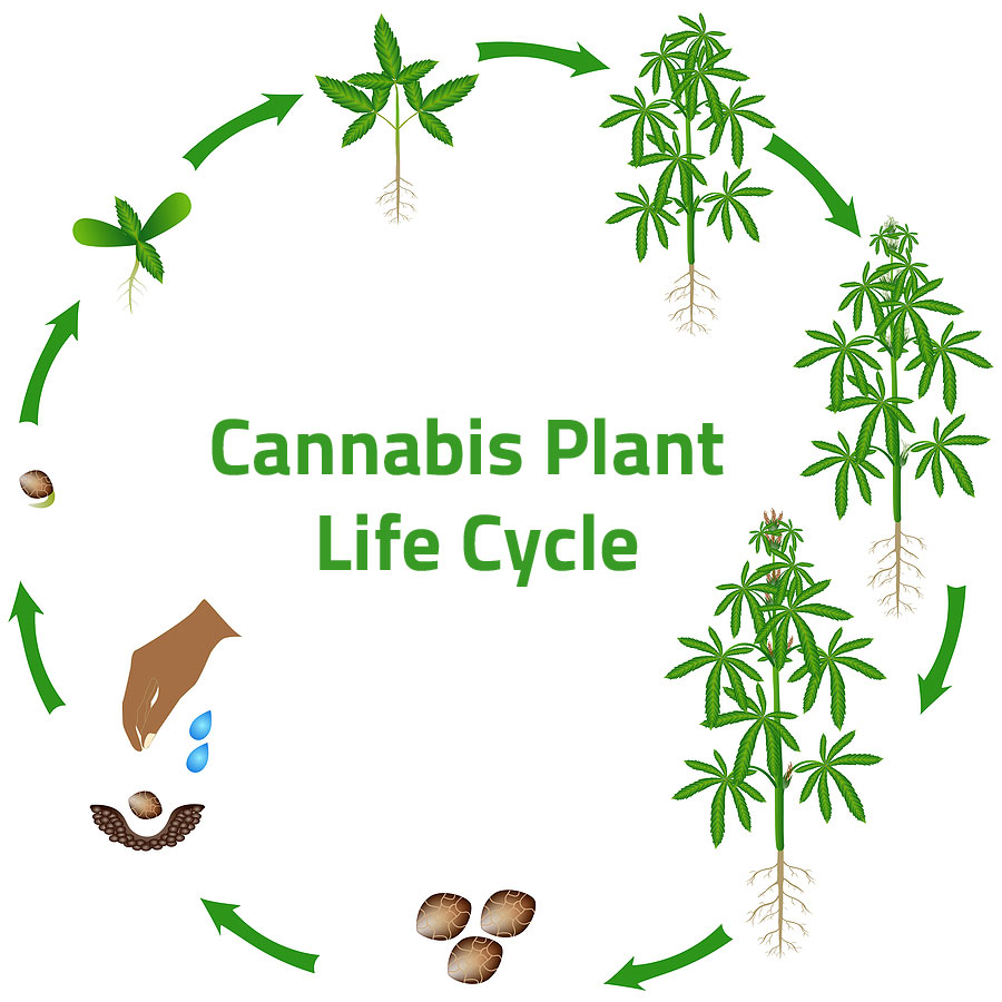 Cannabis Life Cycle