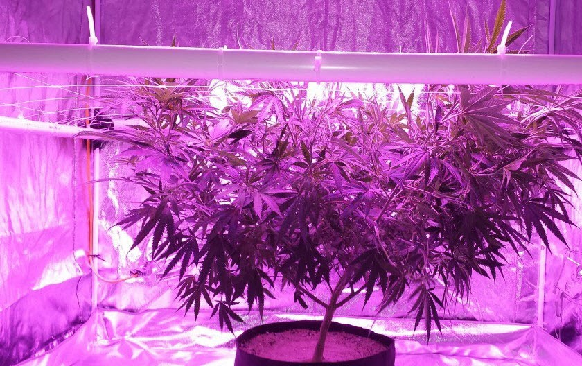 How To Measure LED grow Light for Cannabis Plants