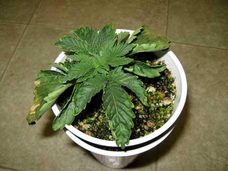 marijuana-overwatered-for-many-days.jpg