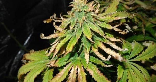 Role of Potassium in Weed Plants