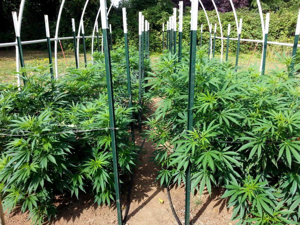 Outdoors cannabis Heat Stress