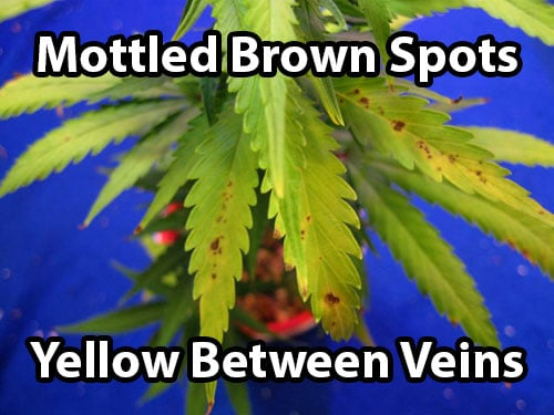 cannabis leaf symptoms Manganese Deficiency