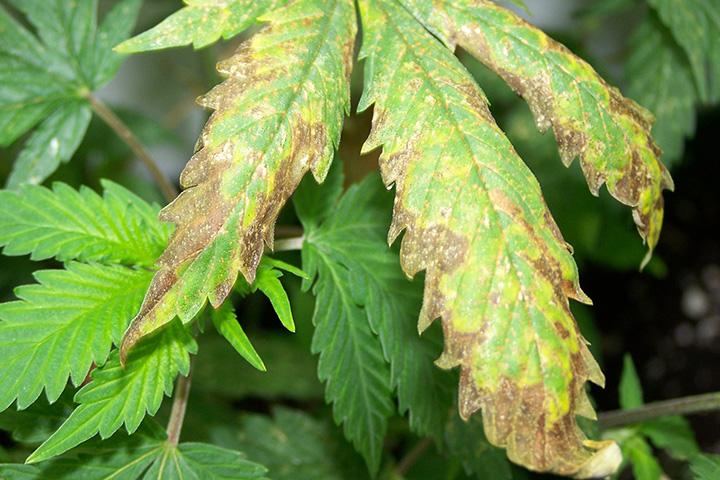 cannabis leaf symptoms Nutrient Burn