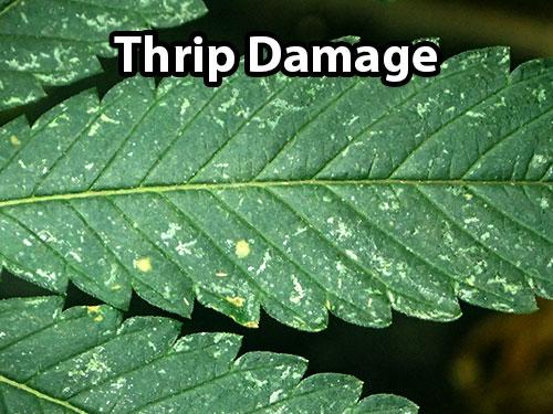 cannabis leaf symptoms Thrips