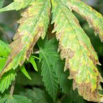 Facts that You Should Know About Nutrient Burn In Cannabis Plants