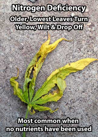 Signs of Nitrogen Deficiency in Cannabis 2