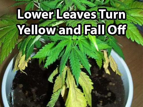 Signs of Nitrogen Deficiency in Cannabis Plants