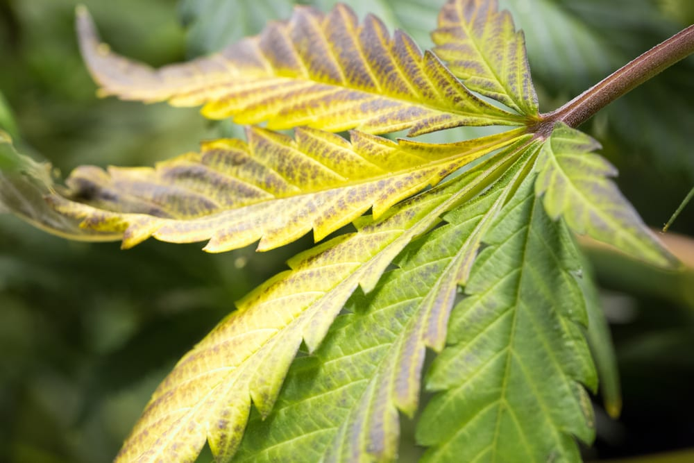 Signs of Nutrient Burn in Cannabis Plants