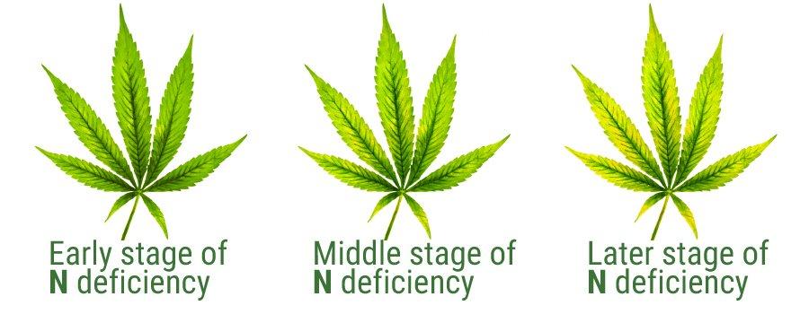cannabis nitrogen deficiency 2